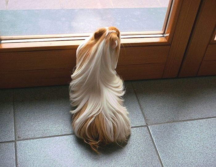 long-haired-guinea-pigs-58fdde48d75f4__700