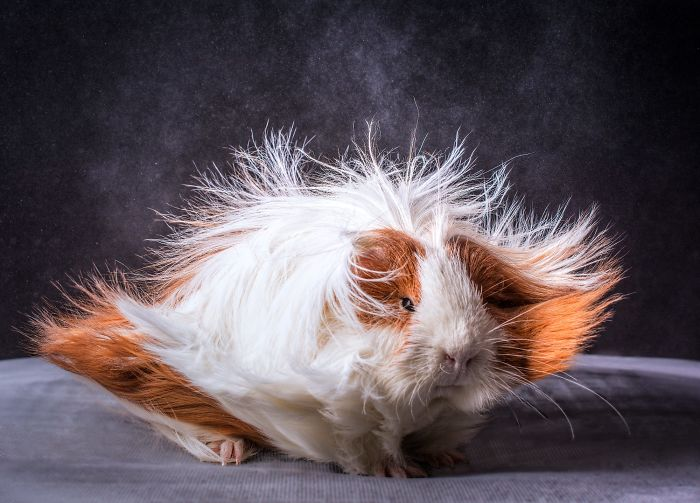 long-haired-guinea-pigs-58fde510832e5__700