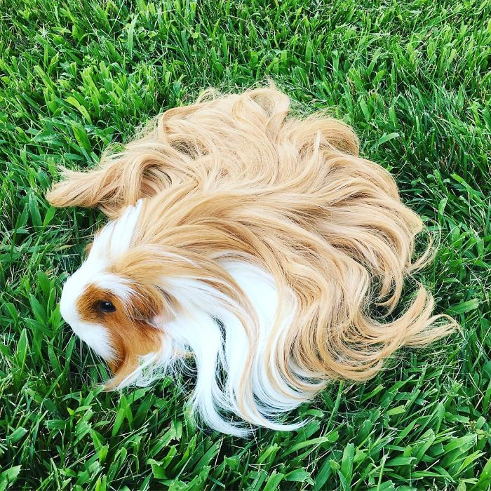 long-haired-guinea-pigs-58fde6cb65da6__700
