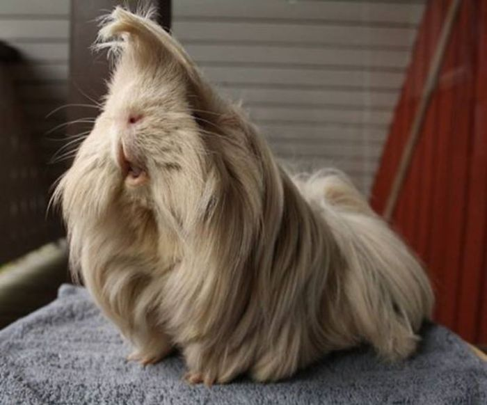 long-haired-guinea-pigs-58fded24592b6__700